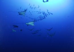 aquile di mare alle Maldive