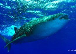 identificazione squalo balena