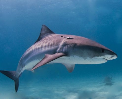 squalo tigre a Fuvahmulah Maldives sud