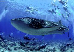 squalo balena alle Maldive