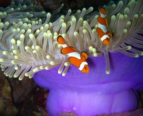 immersioni komodo pesci pagliaccio