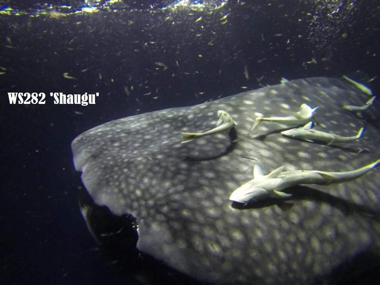 immersione con squali Maldive