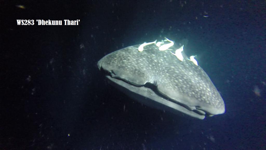 squalo balena avvistato alle Maldive
