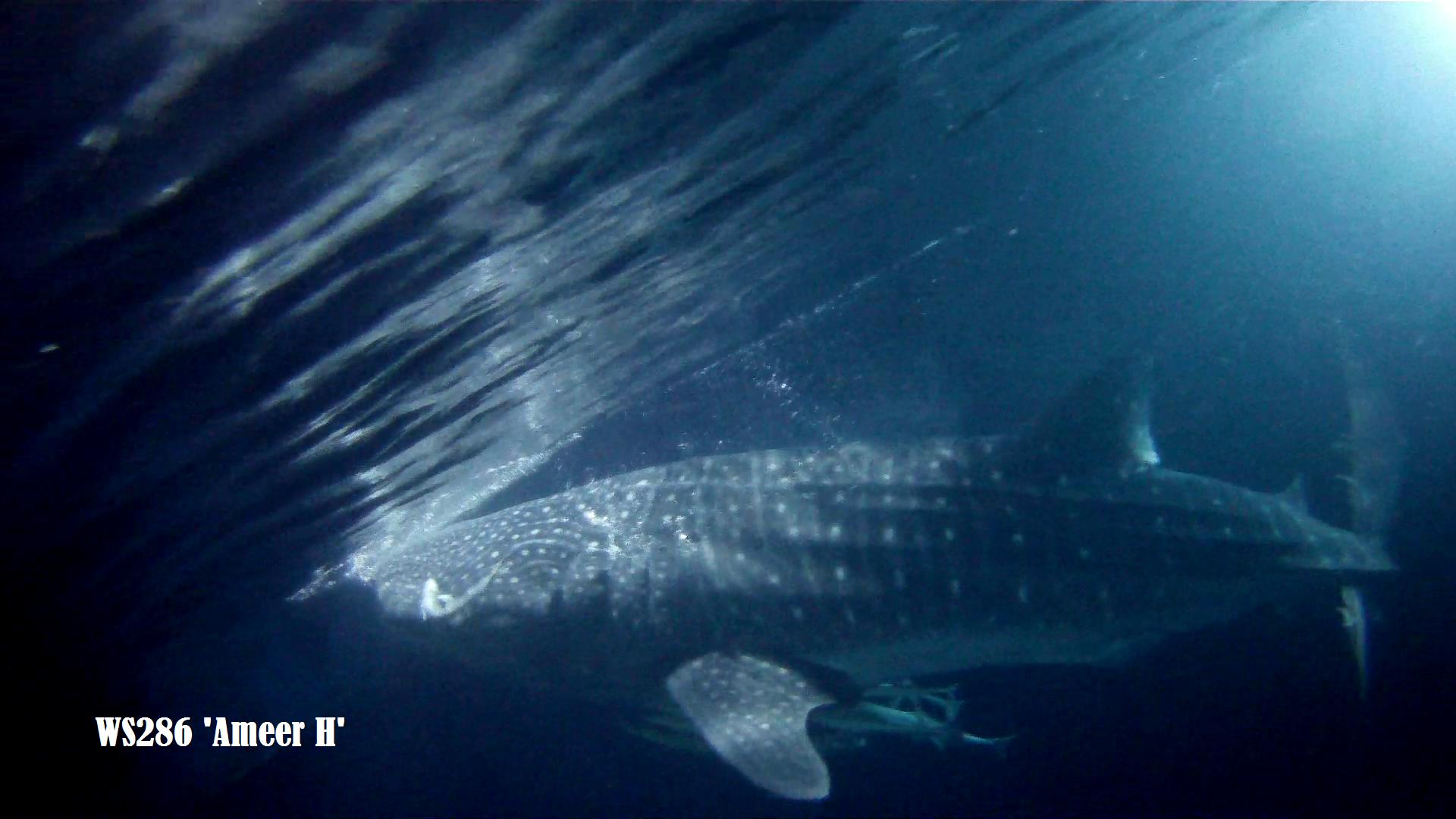 immersione tra gli squali Maldive